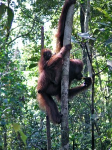 Mother and baby orangutan at Camp Leakey