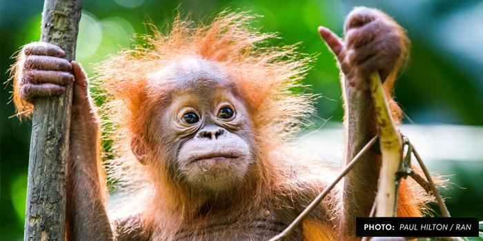 OrangutanActionImage.jpg