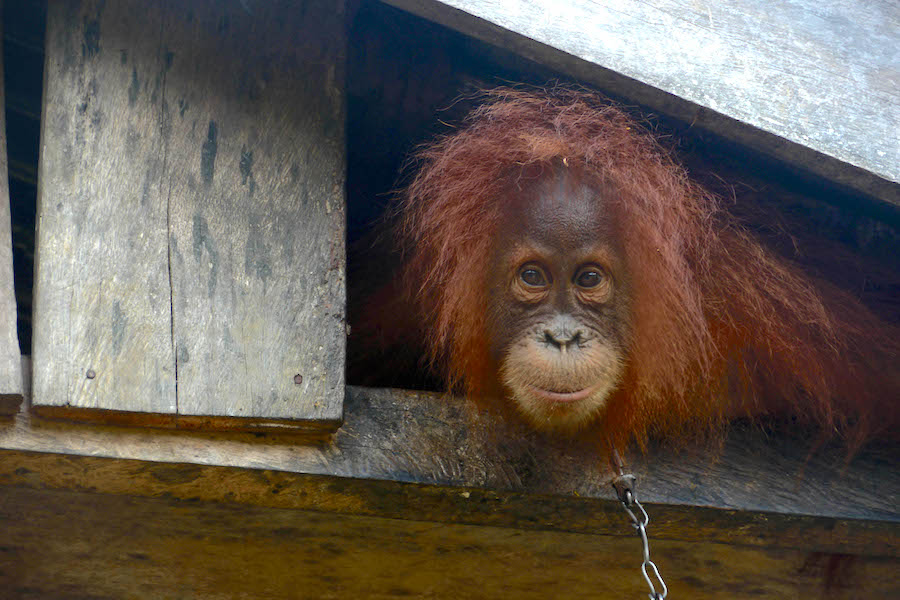 Orangutan_Shackled_in_Leuser_-_photo_-_Carlos_Quiles.jpg