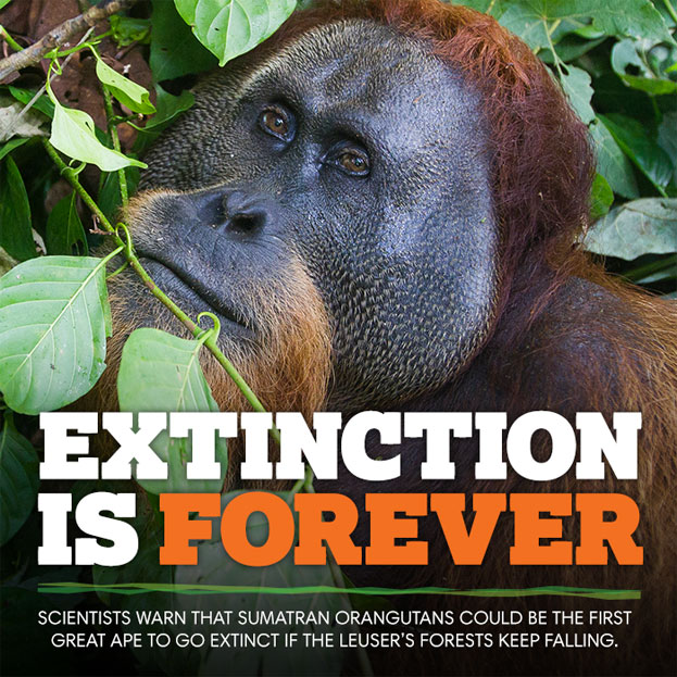 Extinction is Forever - Scientists warn that Sumatran Orangutans could be the first great apes to extinct if the Leuser's Forests Keep Falling.