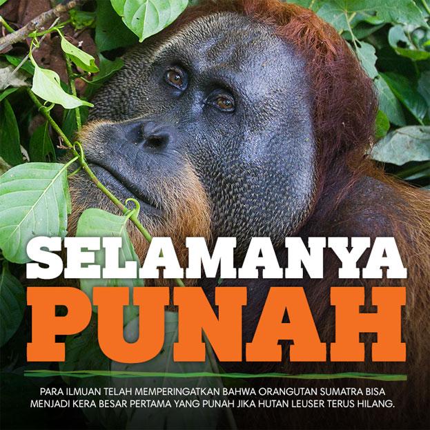 Selamanya Punah - Para ilmuan telah memperingatkan bahwa Orangutan Sumatra bisa menjadi kera besar pertama yang punah jika hutan Leuser terus hilang.