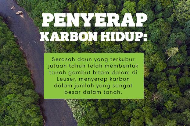 Penyerap Karbon Hidup: Serasah daun yang terkubur jutaan tahun telah membentuk tanah gambut hitam dalam di Leuser, menyerap karbon dalam jumlah yang sangat besar dalam tanah.