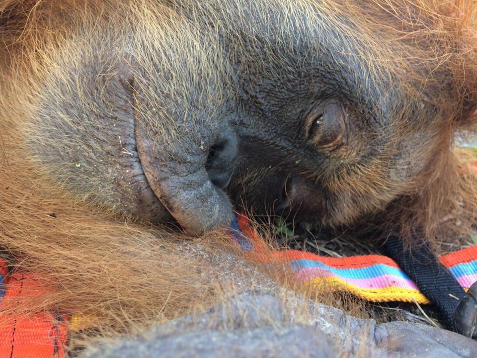 OrangutanRescue_072017_6.jpg