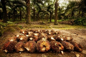 Harvesting Oil Palm on a Plantation in Sumatra. Photo: David Gilbert