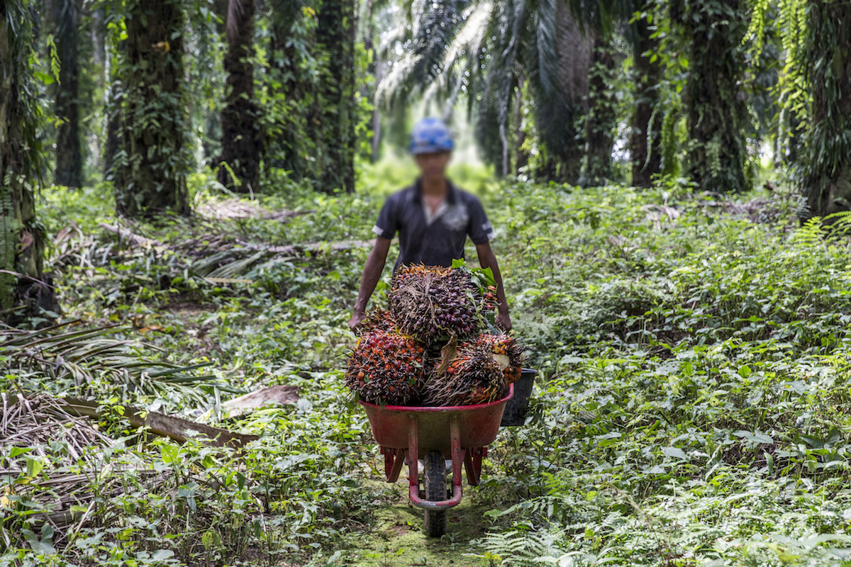 _A_worker_transports_fresh_fruit_bunches_to_a_collection_point_in_PT._London_Sumatra_Plantation._North_Sumatra.jpg