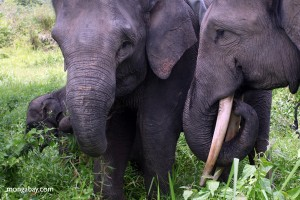 SumSumatran Elephants: Critically Endangered Due to Palm Oil and Pulp & Paper Plantations