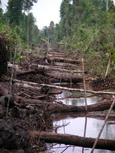 Forest Clearing in Endangered Orangutan Habitat on the Edge of Tanjung Puting National Park