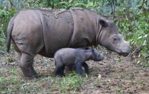 Captured on Hidden Camera and Released by the Indoensia Ministry of Forestry, Rare Sighting of Sumatran Rhinos Sparks International Attention