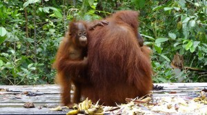 A baby orangutan with its mother at Tanjung Puting, Indonesia