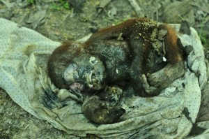For some, rescue comes too late. Photo: The Centre for Orangutan Protection