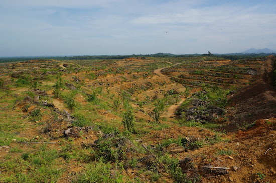 Devastation of the forest. This is what a Conflict Palm Oil plantation looks like.