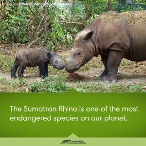 The Sumatran Rhino is one of the most endangered species on our planet.
