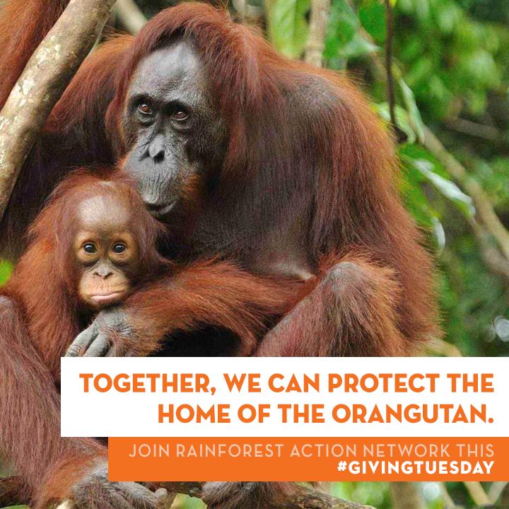 GivingTuesday_-_Orangutan.png