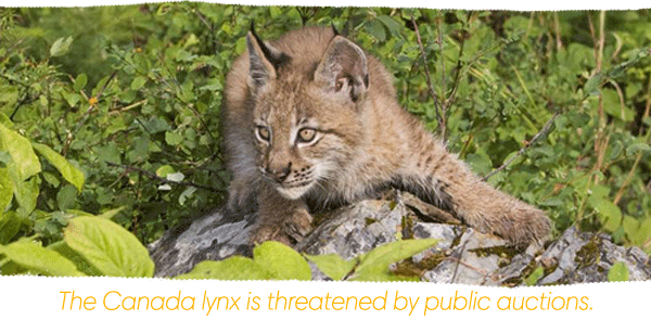 The Canada Lynx is impacted by public auctions.