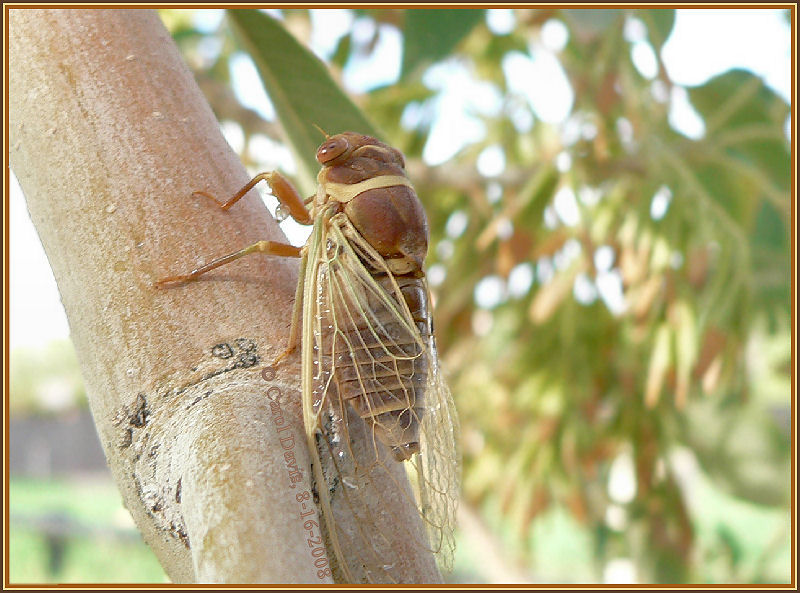 cicada2cd.jpg