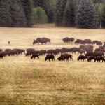 Buffalo-150x150.png
