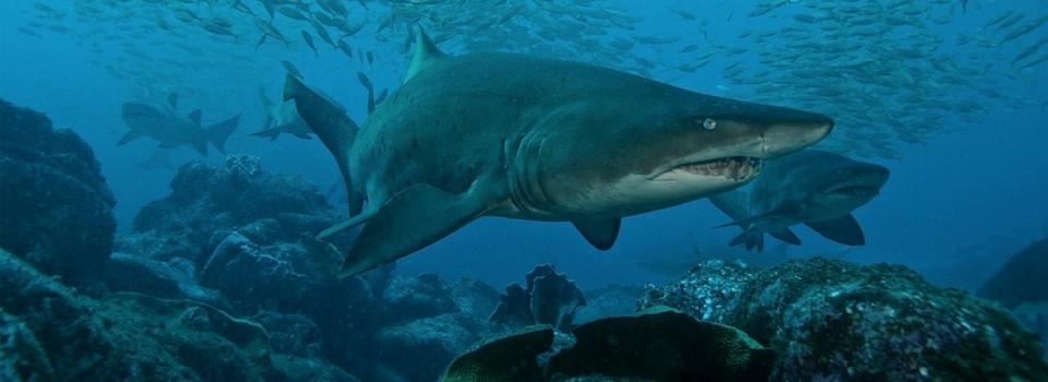 Grey Nurse Shark Watch | Help save a shark with your camera