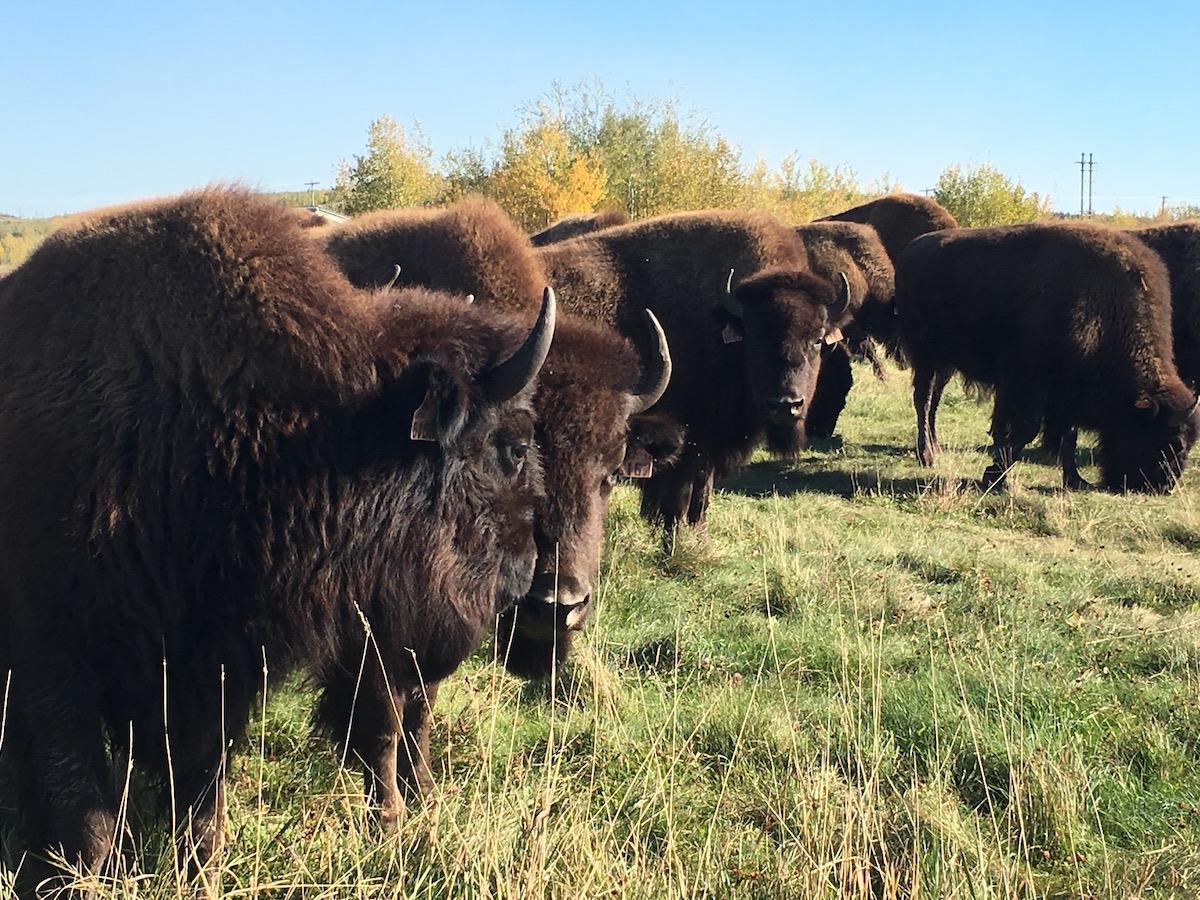 buffalo_-_1.jpg