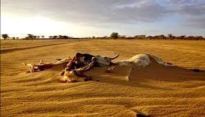 صورة تبين نفوق بعض الأبقار بسبب الجفاف