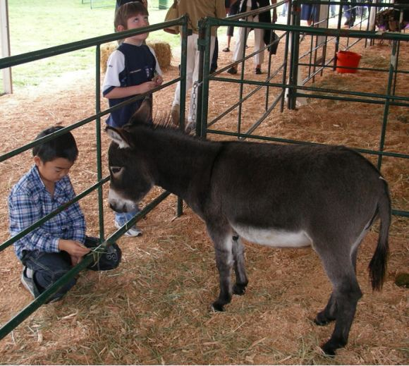 saanich-fair-minature-donkey-boy.jpg