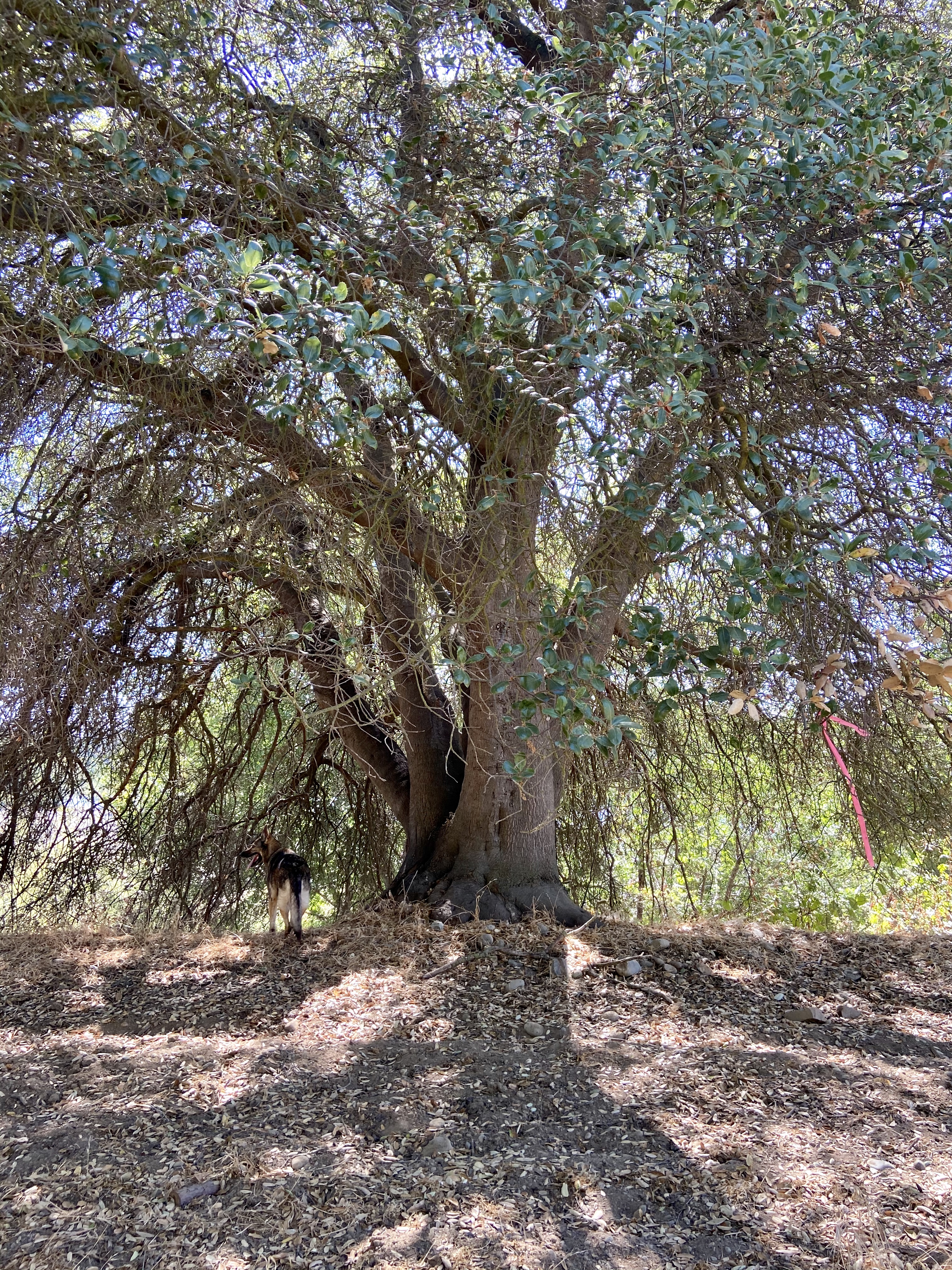 Big_Tree_along_river_bank.jpg
