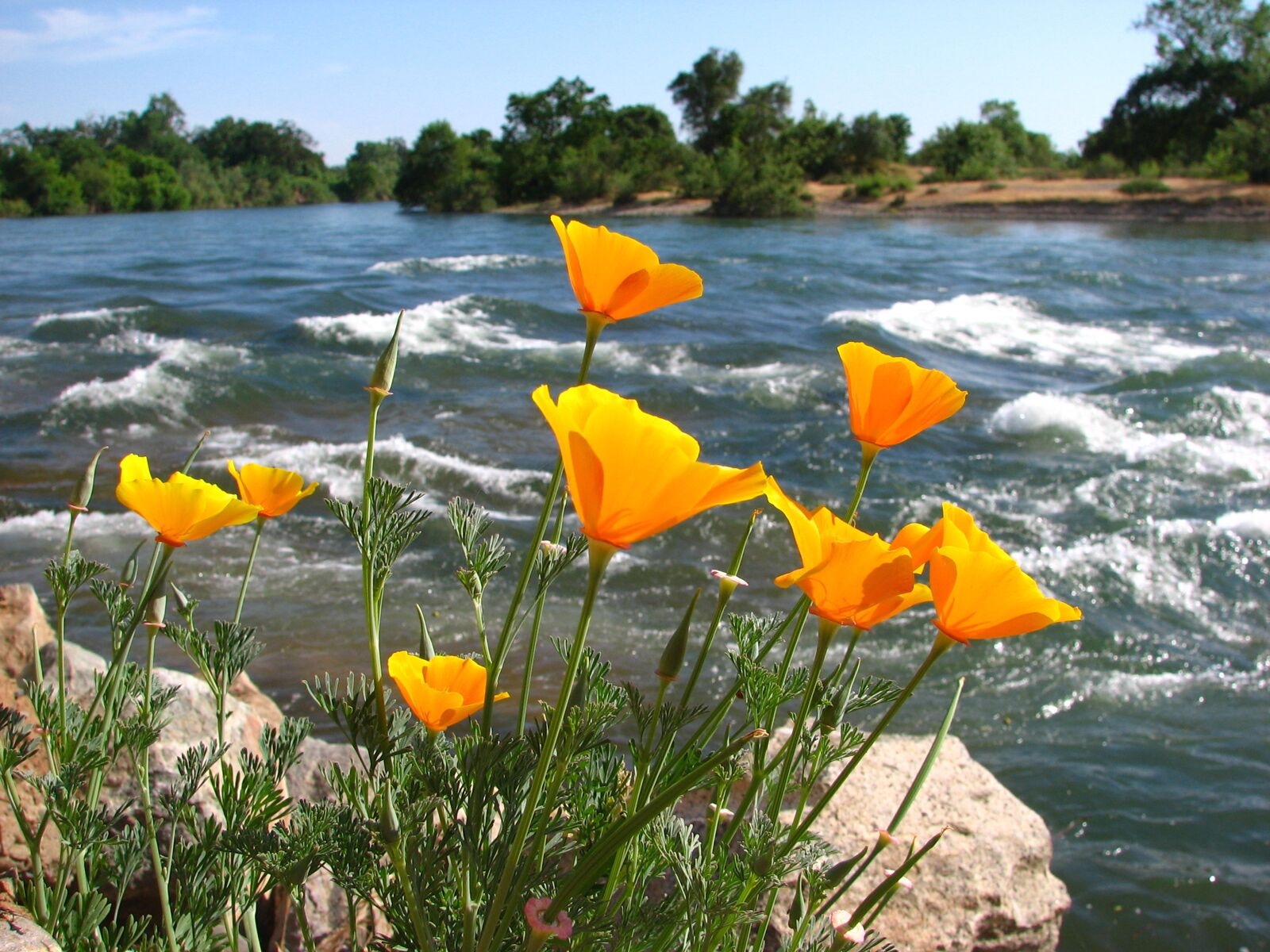 Poppies along the American River