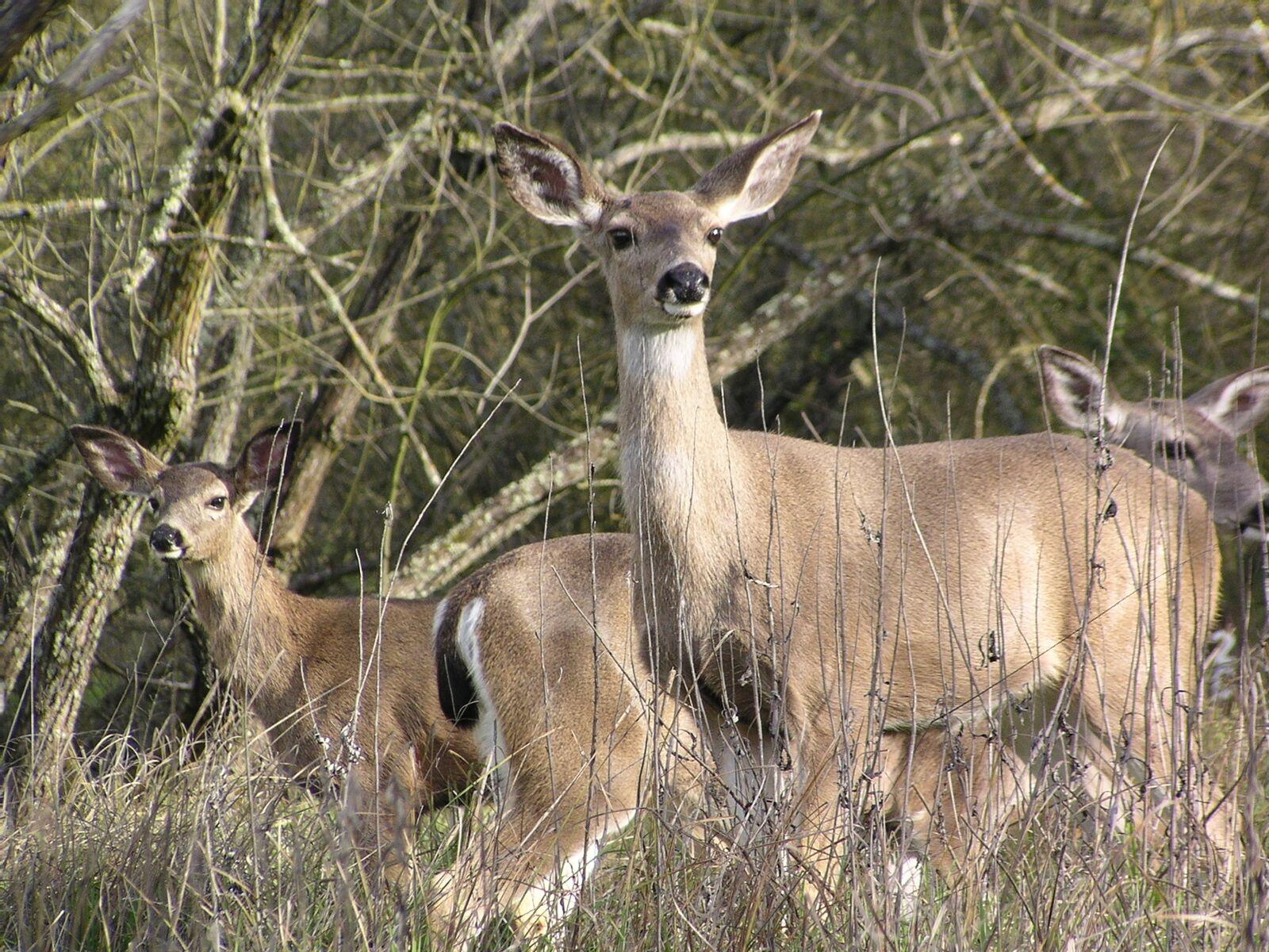 Deer on the American River Parkway