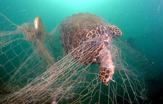 Turtle in net