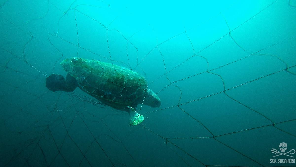 news-171218-loggerhead-turtle-net-1-1200w.jpg
