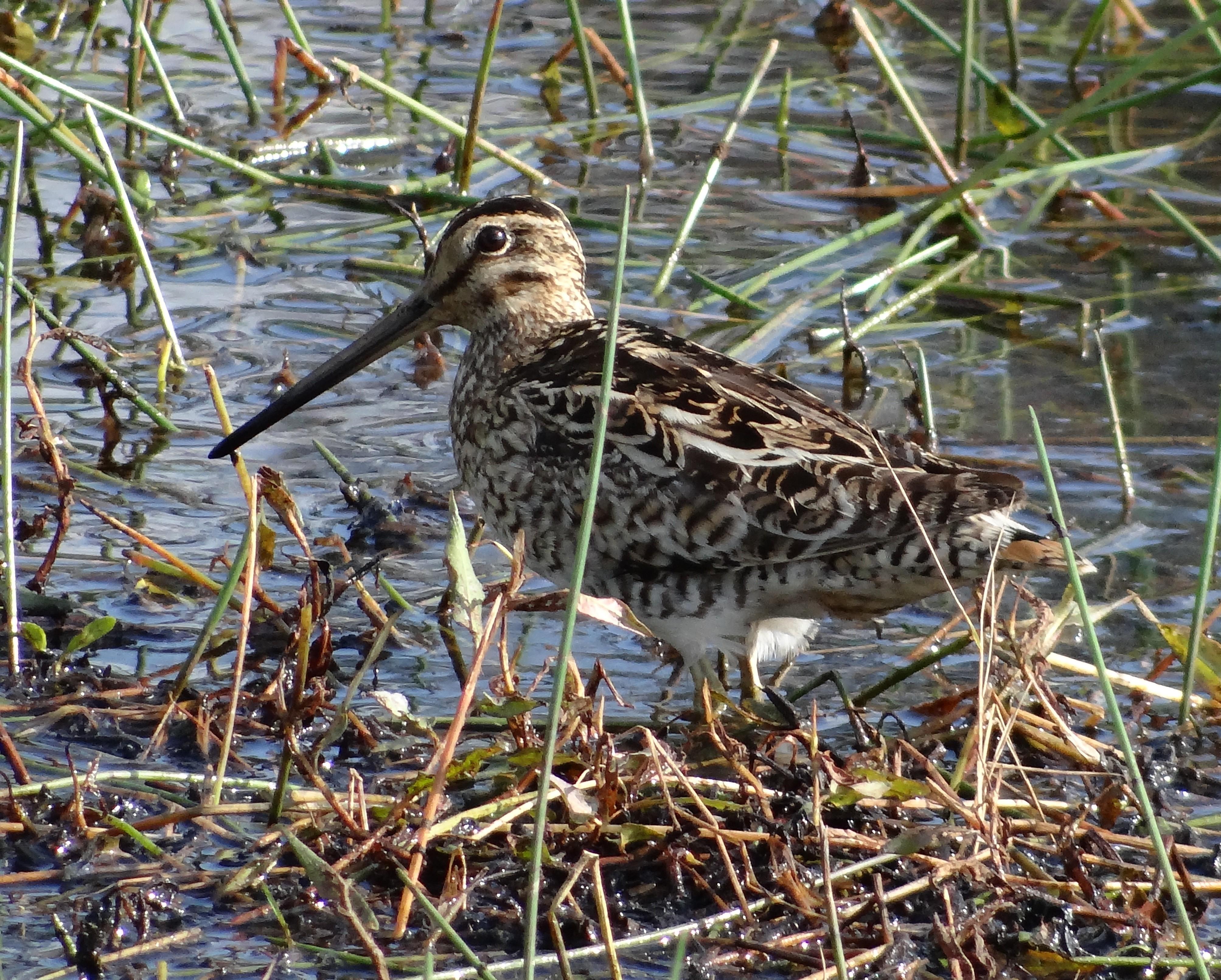 Latham's snipe-Yandina Ck Wetlands Greg Roberts