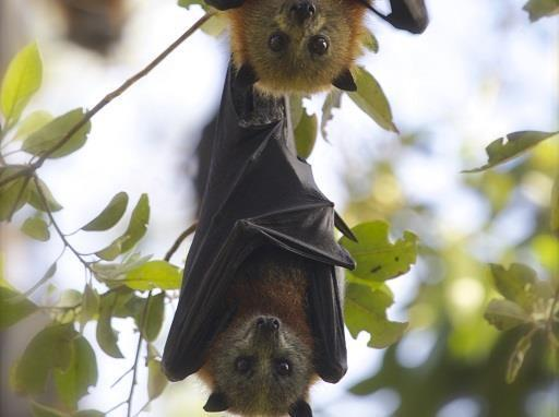 Losing a generation: flying-fox abandonment event a distressing sign of what's to come  - Sunshine Coast Environment Council