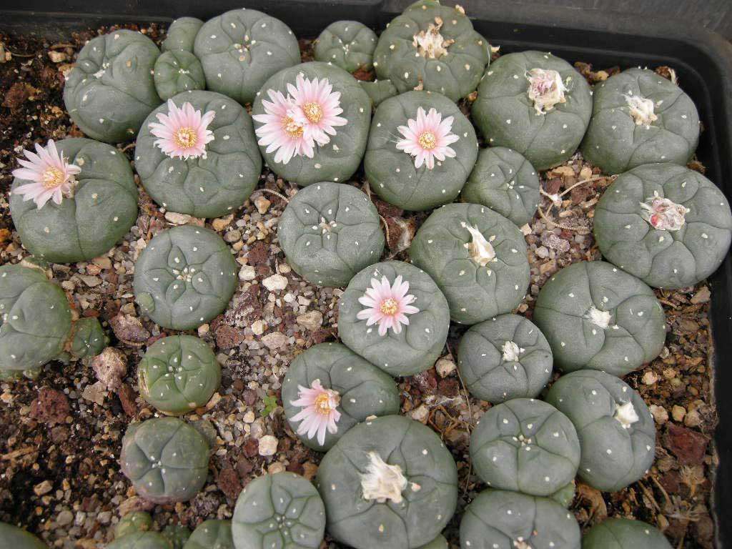 plantas-prehispanicas-salvia-divinorum-peyote1.jpg