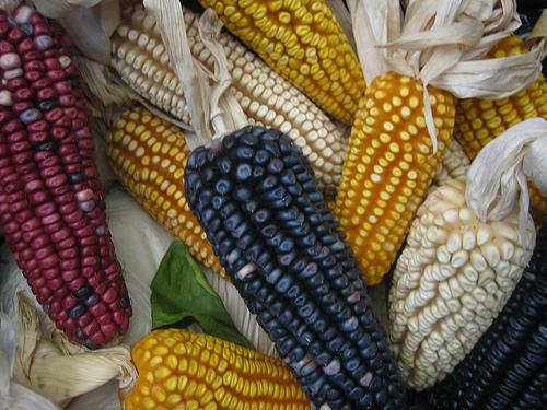 maiz.jpg