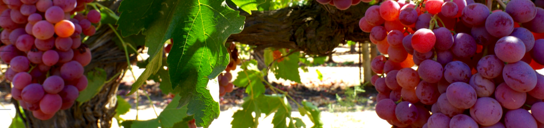 1060_x_250_Grapevines.png