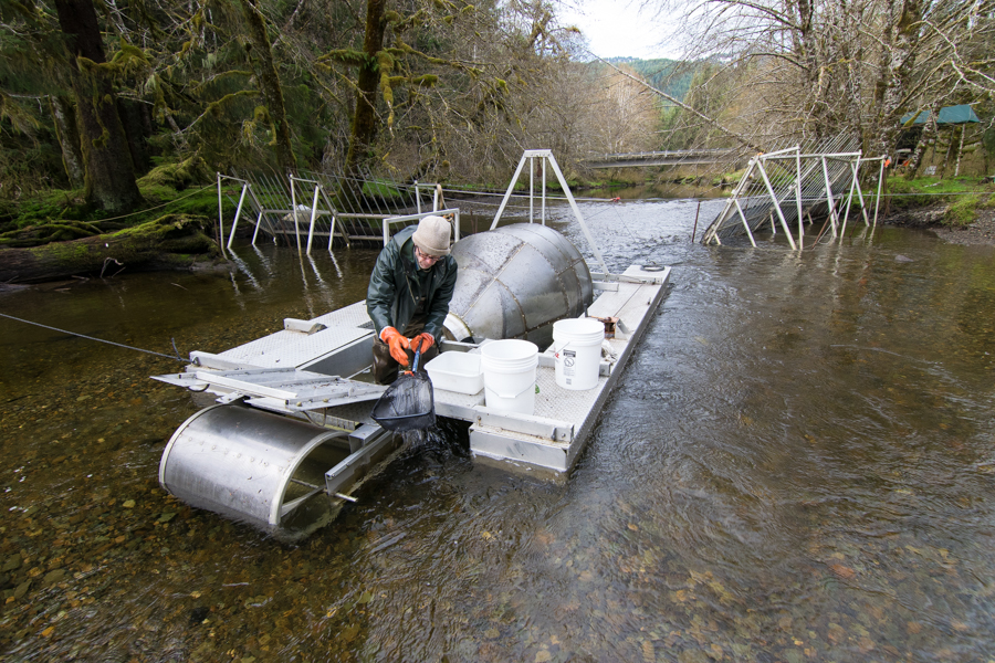 Steve McCurdy counts collects coho smolts for measuring and data collection on the Screwtrap on Twelvemile Creek.