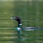 Russell Fjord Loon