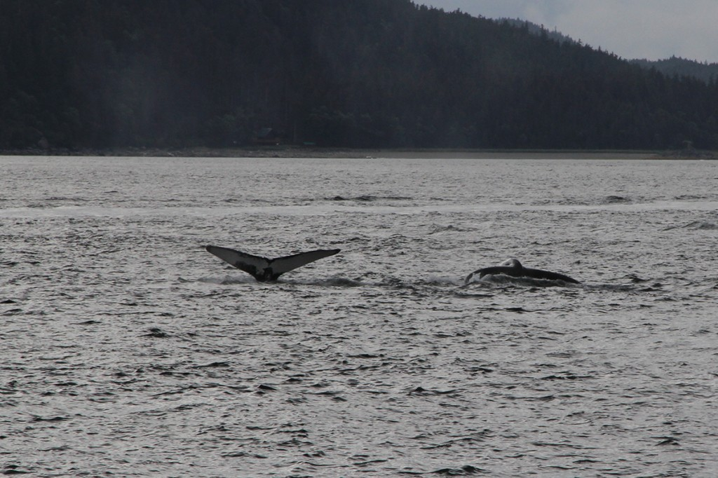 North Pacific humpback whales inhabit southeast Alaskan waters all spring and summer long.