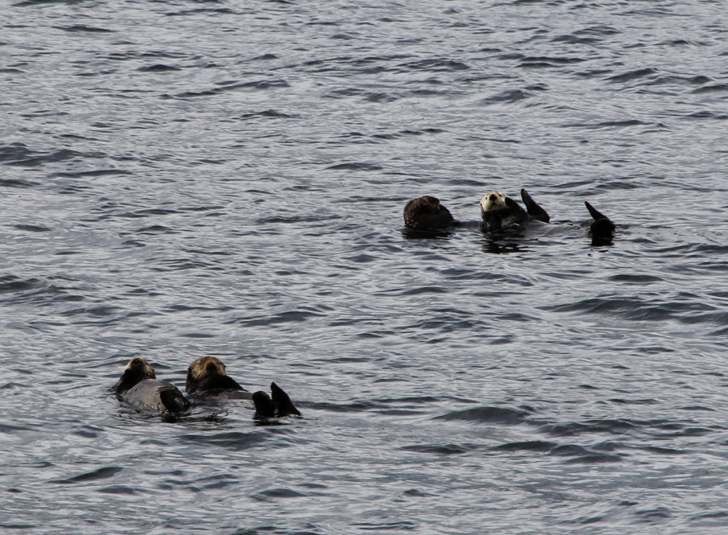 Sea otters in Sitka Sound.