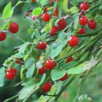 Huckleberries on branches
