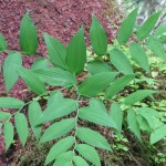 Forest understory plant