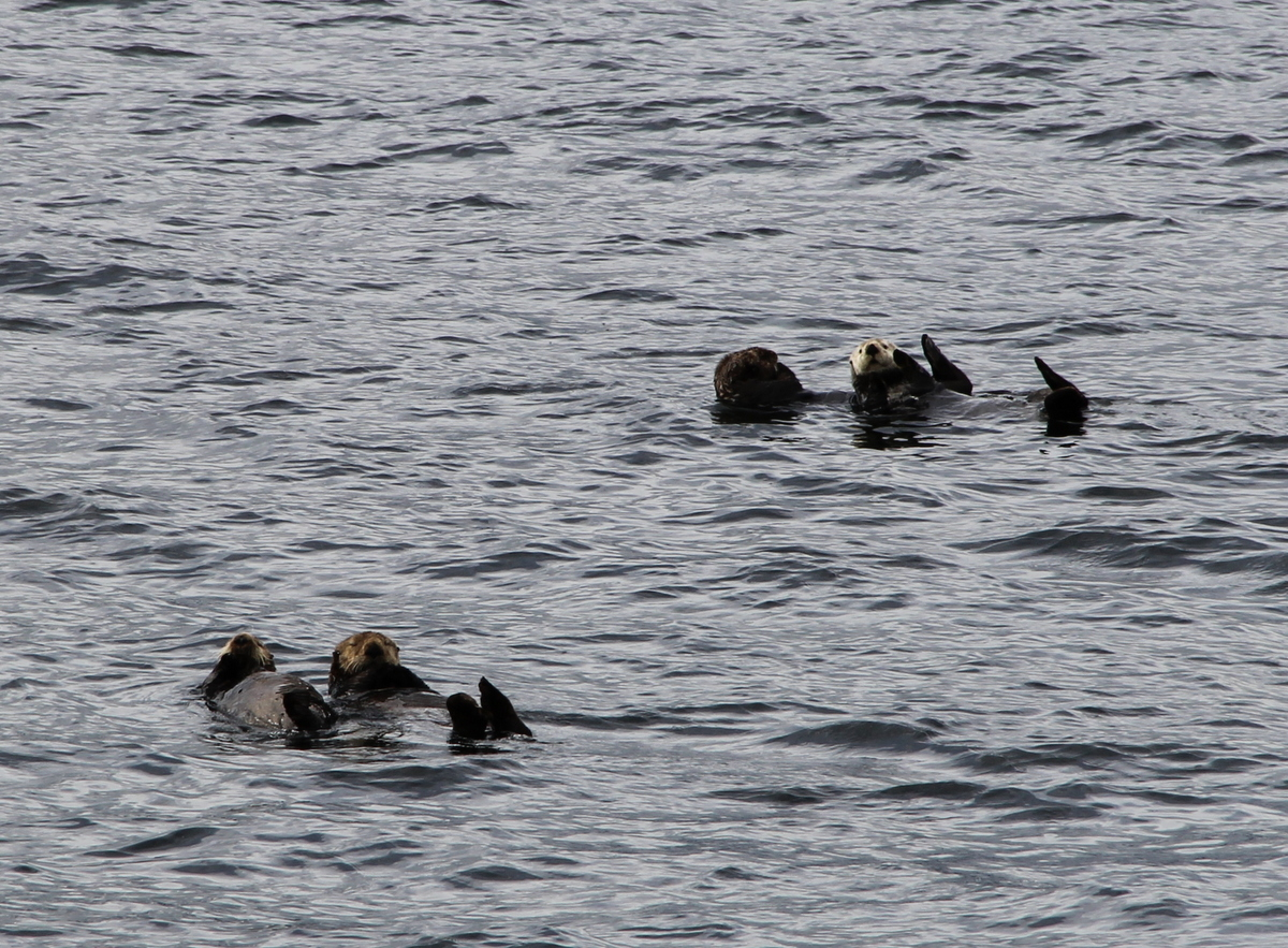 Photo for The Southeast Sea Otter Story