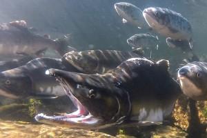Salmon_big.jpg