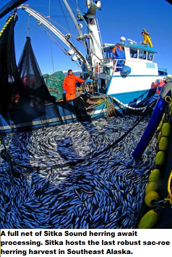 Herring_harvest_caption.jpg