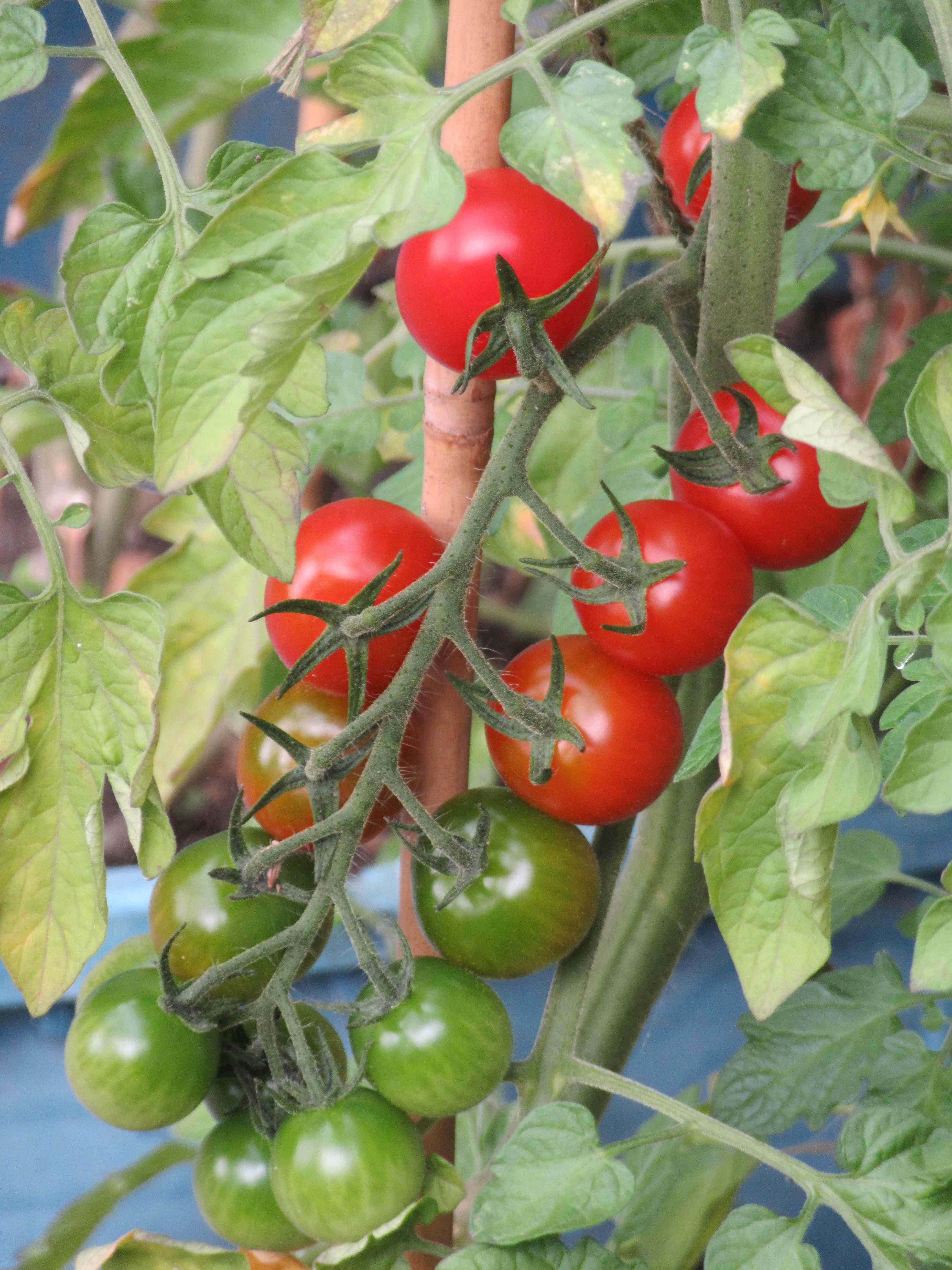 tomatoes!.jpg