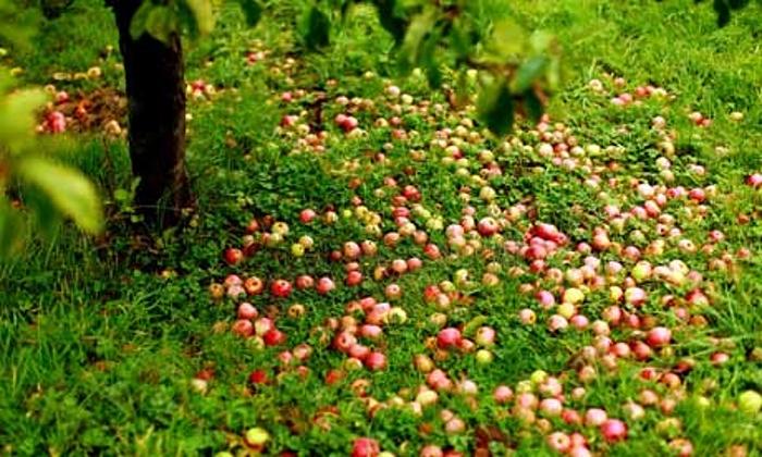 English-cider-apples-001.jpg