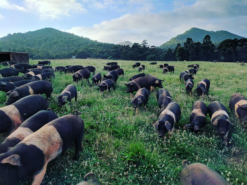mount_gnomon_pigs_pic.jpg