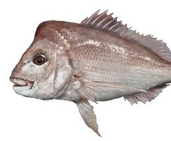 Ballot for recreational snapper fishing in south east waters