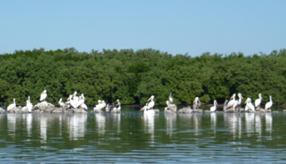 Picture_of_White_Pelicans_LBP.png