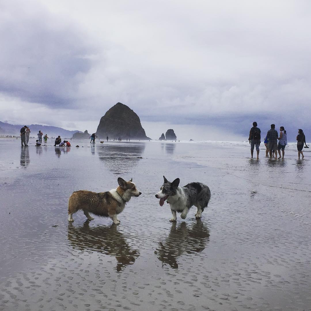 Corgies on the beach