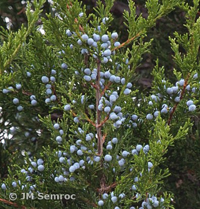 IMG_9222_Eastern_Red_Cedar-soft_cones1_opt.jpg